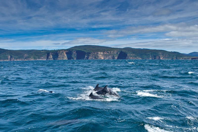 Dolphins following Helsal IV in Storm Bay, Tasmania